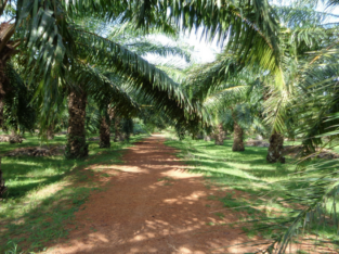10 Acres of Palm Oil Land For Sale at N.T. Rajapuram, Gandepalli
