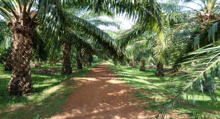 10 Acres of Palm Oil Land For Sale at N.T. Rajapuram, Gandepalli