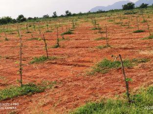 Red Sandalwood Plantation Plots For Sale at Podili, Prakasam District.