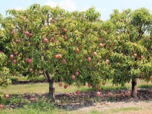 Mango gardens For Rent at Ryalampadu (v), Jogulambagadwal District.