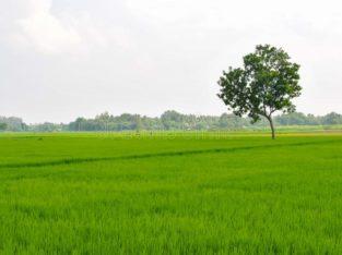Agriculture Land For Sale at Near Bhimavaram, Bethapudi